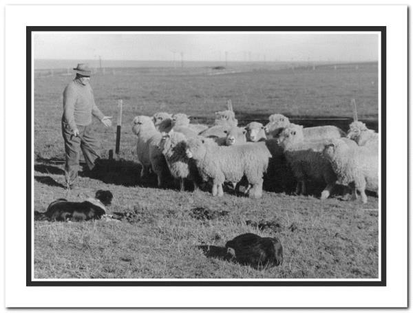 Henry Aitken working with sheep dogs at Kingsdown